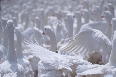 国内有哪些优质羽绒原产地?